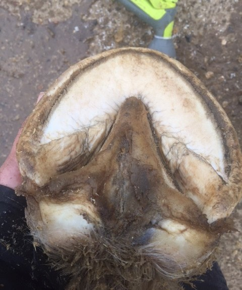 Horses foot after Field Paste